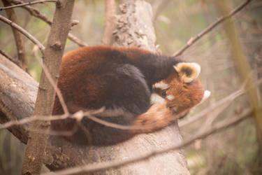 Red Panda by jaz-lyn