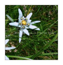 .:.edelweiss.:. by nebelelfe