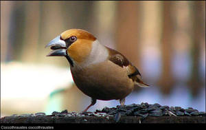 hawfinch by bright