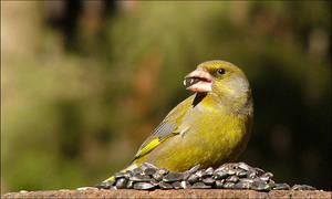another greenfinch by bright