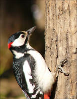woodpecker by bright