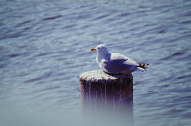 Seagull by Gypsieeee