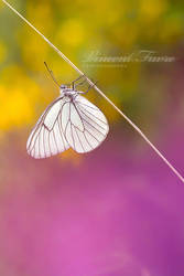 Farfalla... by vincentfavre