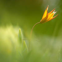 Wild Tulipe... by vincentfavre
