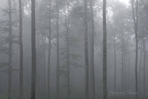 Misty trunks... by vincentfavre
