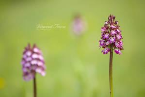 3x Orchis purpurea by vincentfavre