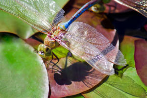 Green Darner by jvrichardson