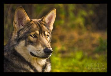 Wolfdog Portrait by Lupinicious