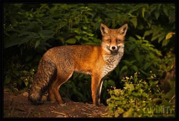 Houdini Fox by Lupinicious