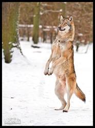 Werewolf? by Lupinicious