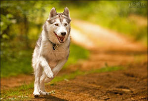 Run, Husky, Run by Lupinicious