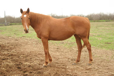 Chestnut Thoroughbred Mare by HorseStockPhotos