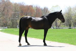Bay Dutch Warmblood Gelding by HorseStockPhotos