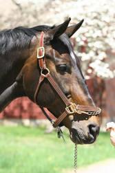 Bay Dutch Warmblood Gelding Headshot by HorseStockPhotos