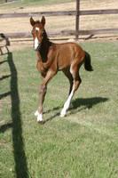 Bay Dutch Warmblood Filly - Orphan Foal by HorseStockPhotos