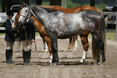 Dapple Gray Thoroughbred Mare by HorseStockPhotos
