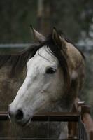 Dapple Gray Thoroughbred Mare Headshot by HorseStockPhotos