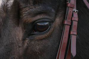 Brown Quarter Horse Eye by HorseStockPhotos