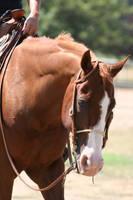 Chesntut / Sorrel Quarter Horse Western Headshot by HorseStockPhotos