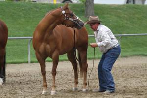 Chestnut Appaloosa Mare Halter Horse Show by HorseStockPhotos