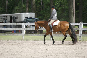 Bay Quarter Horse Gelding Hunter Under Saddle by HorseStockPhotos