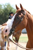 Chestnut AQHA Quarter Horse Champion, Headshot by HorseStockPhotos