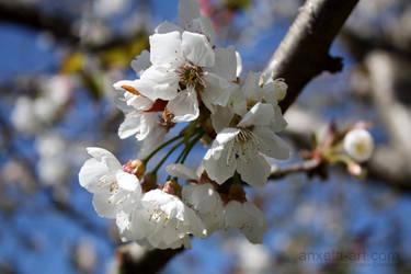 Flor de cerezo by anxela-art