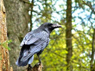 Raven  I by Elvenlight