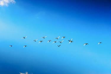 Swans by ssv