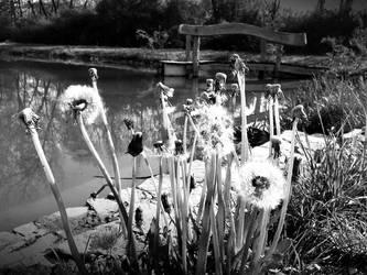 Dandelions by Pauline-graphics