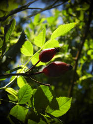 A rose hips by Pauline-graphics