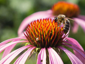 Bee and echinacea flower by Vorchonok