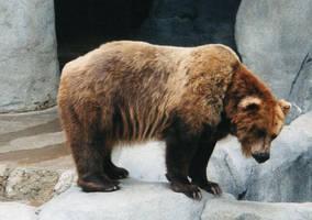 BearBrown bear by sweetaj6