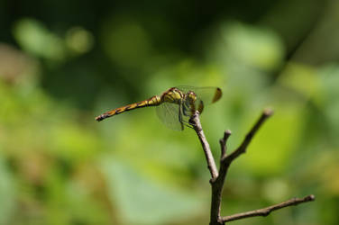 Dragon Fly by DuniopAP