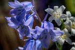 Bluebells and Snowdrops by Lashington