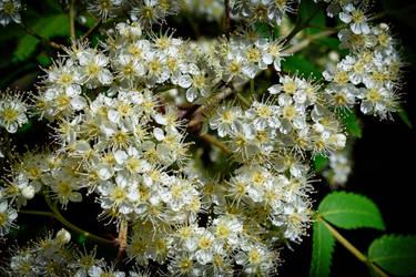 Rowan Blossom by Lashington