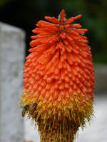 Red Hot Poker and wasps by setanta5