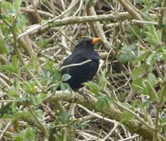 Blackbird by setanta5