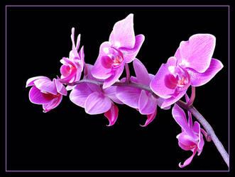 Orchid by vesa