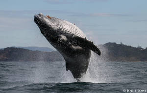 Awesome Breach By A Juvenile Humpback Whale by Oracle88