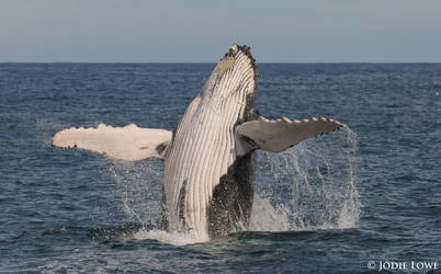 Breaching Humpback Whale Calf by Oracle88