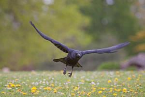 Crow Flight 2 by SnowPoring