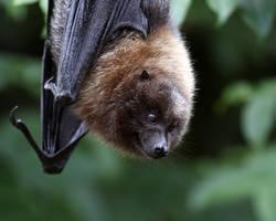 Bat 2 by SnowPoring