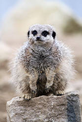 Meerkat Rock by SnowPoring