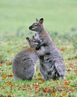 Wallaby Hugs by SnowPoring