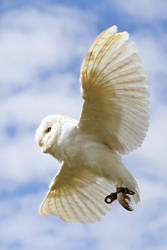 Barn Owl 3 by SnowPoring
