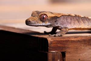 Crested Gecko 4 by SnowPoring