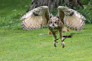 Bengal Eagle Owl Flight by SnowPoring
