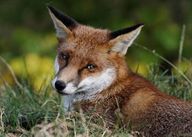 Fox Glance by SnowPoring