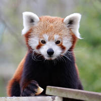 Red Panda 5 by SnowPoring